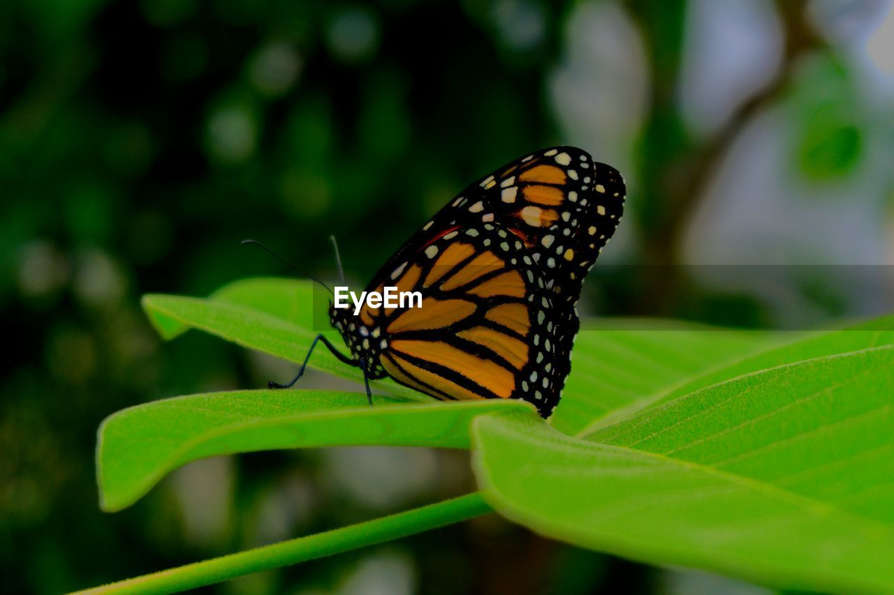 leaf, one animal, animal themes, animals in the wild, insect, close-up, nature, butterfly - insect, no people, plant, day, outdoors, beauty in nature, freshness, fragility