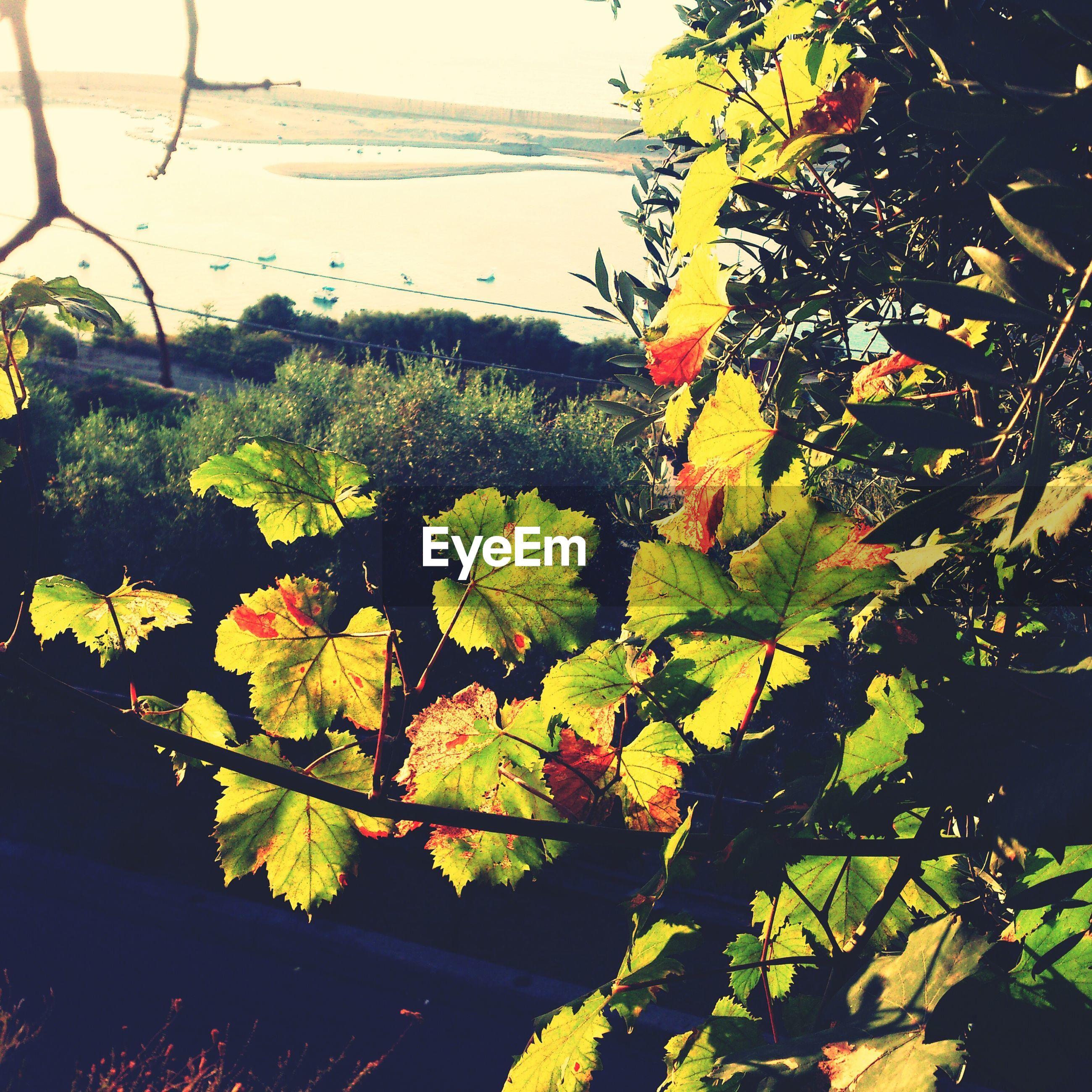 View of grape vine