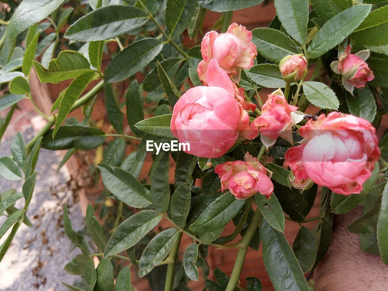 growth, flower, leaf, plant, nature, beauty in nature, pink color, petal, no people, freshness, outdoors, green color, fragility, day, blooming, flower head, close-up