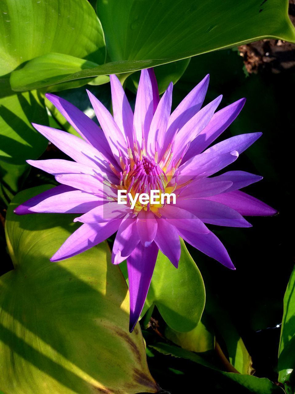 flower, flowering plant, freshness, plant, vulnerability, fragility, beauty in nature, petal, flower head, inflorescence, growth, close-up, purple, leaf, plant part, nature, water lily, pollen, day, no people, lotus water lily