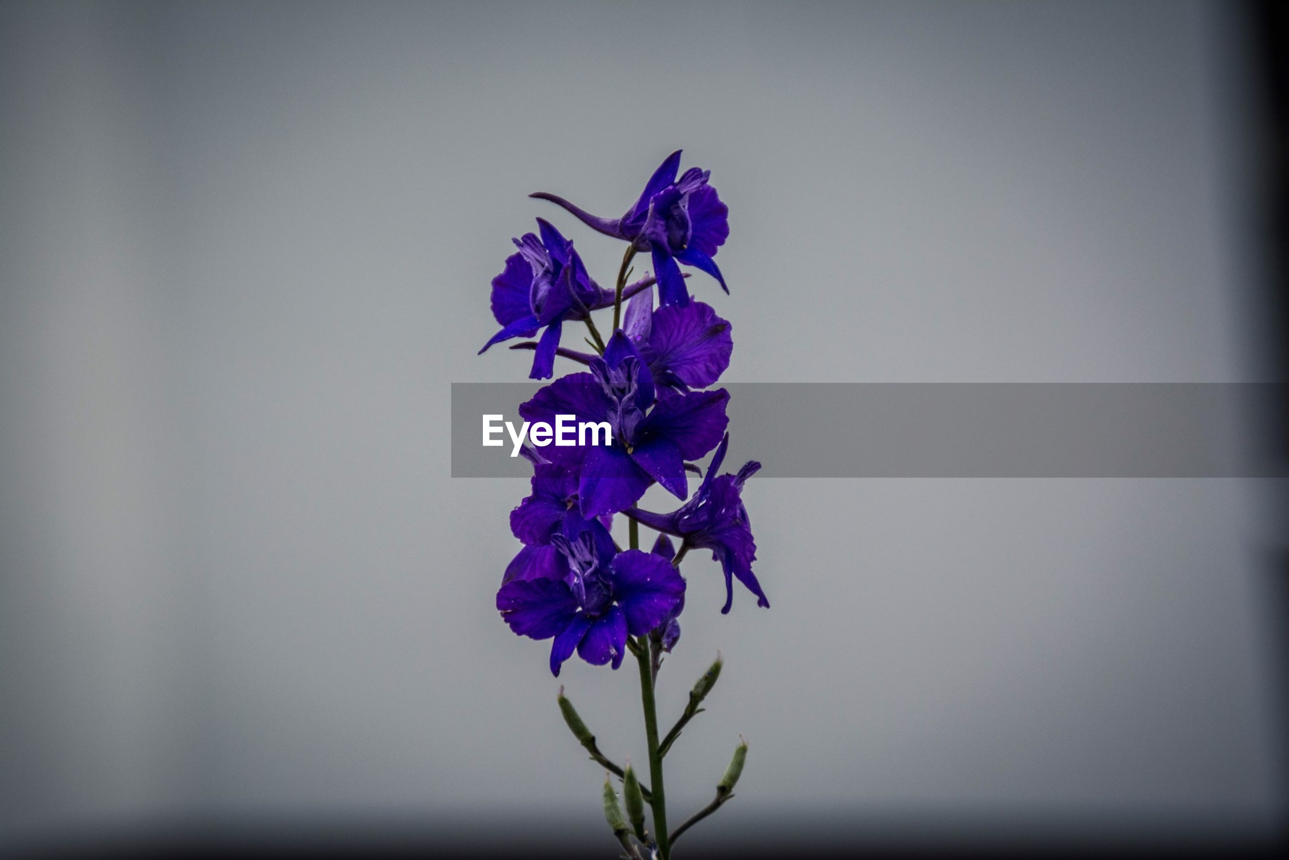 flower, freshness, fragility, purple, growth, petal, beauty in nature, plant, nature, close-up, stem, flower head, copy space, blooming, focus on foreground, in bloom, blue, clear sky, blossom, selective focus