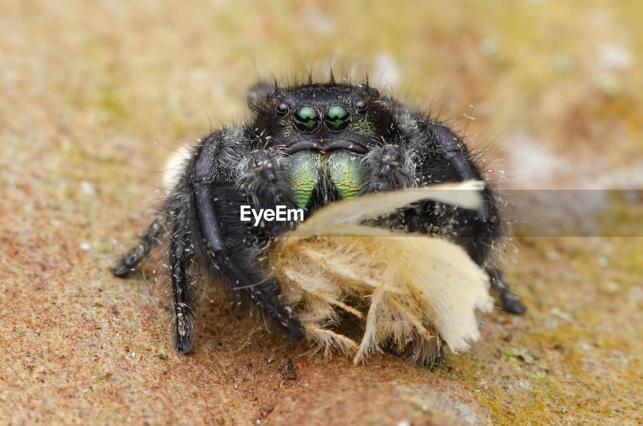 Close-Up Of Jumping Spider On Field