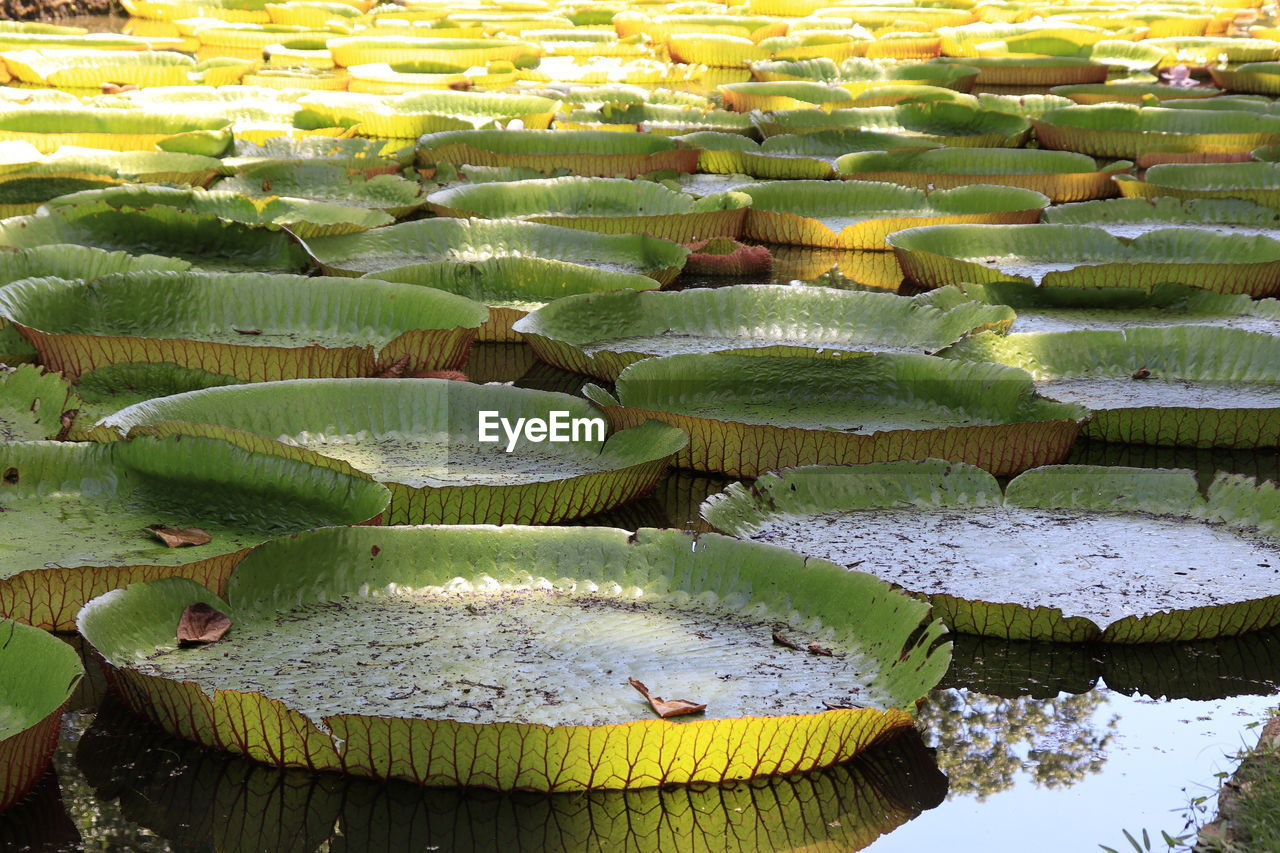 green color, no people, nature, day, growth, leaf, plant, water, high angle view, plant part, beauty in nature, water lily, succulent plant, outdoors, pond, floating, close-up, food and drink, floating on water, lotus water lily, leaves