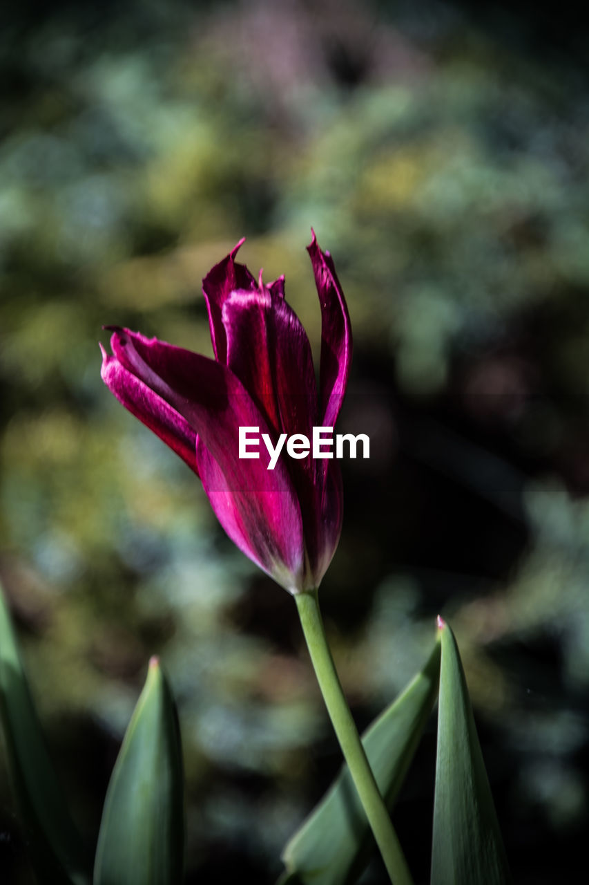 flowering plant, flower, beauty in nature, plant, vulnerability, fragility, freshness, close-up, growth, petal, pink color, focus on foreground, inflorescence, flower head, nature, no people, day, plant part, leaf, outdoors, springtime, purple, softness, sepal
