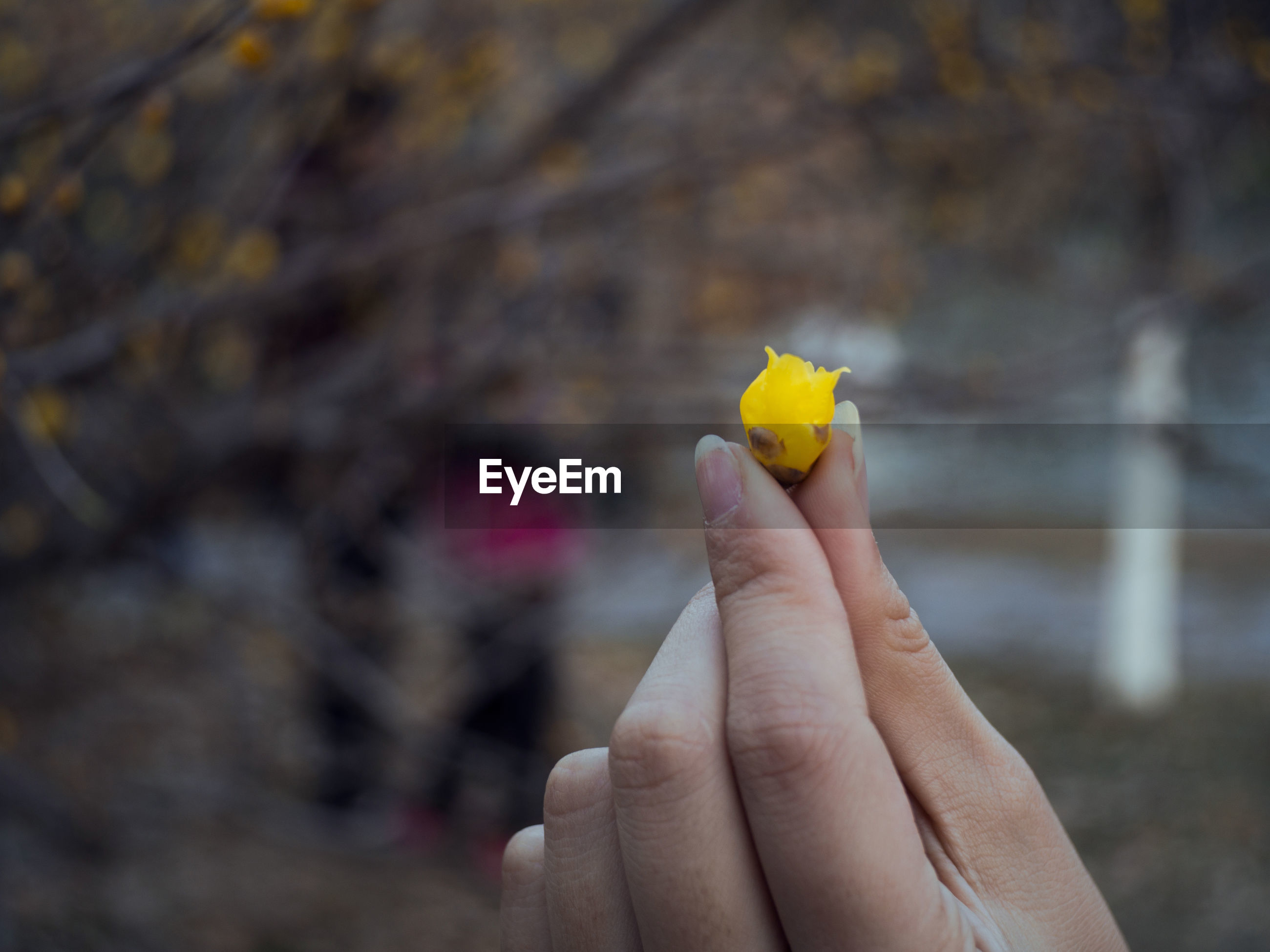 Close-up of hand holding yellow flower