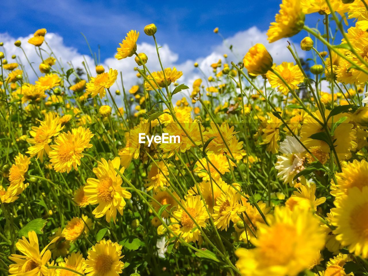 flowering plant, flower, yellow, plant, beauty in nature, freshness, vulnerability, growth, fragility, close-up, petal, day, nature, field, land, flower head, no people, inflorescence, focus on foreground, selective focus, outdoors