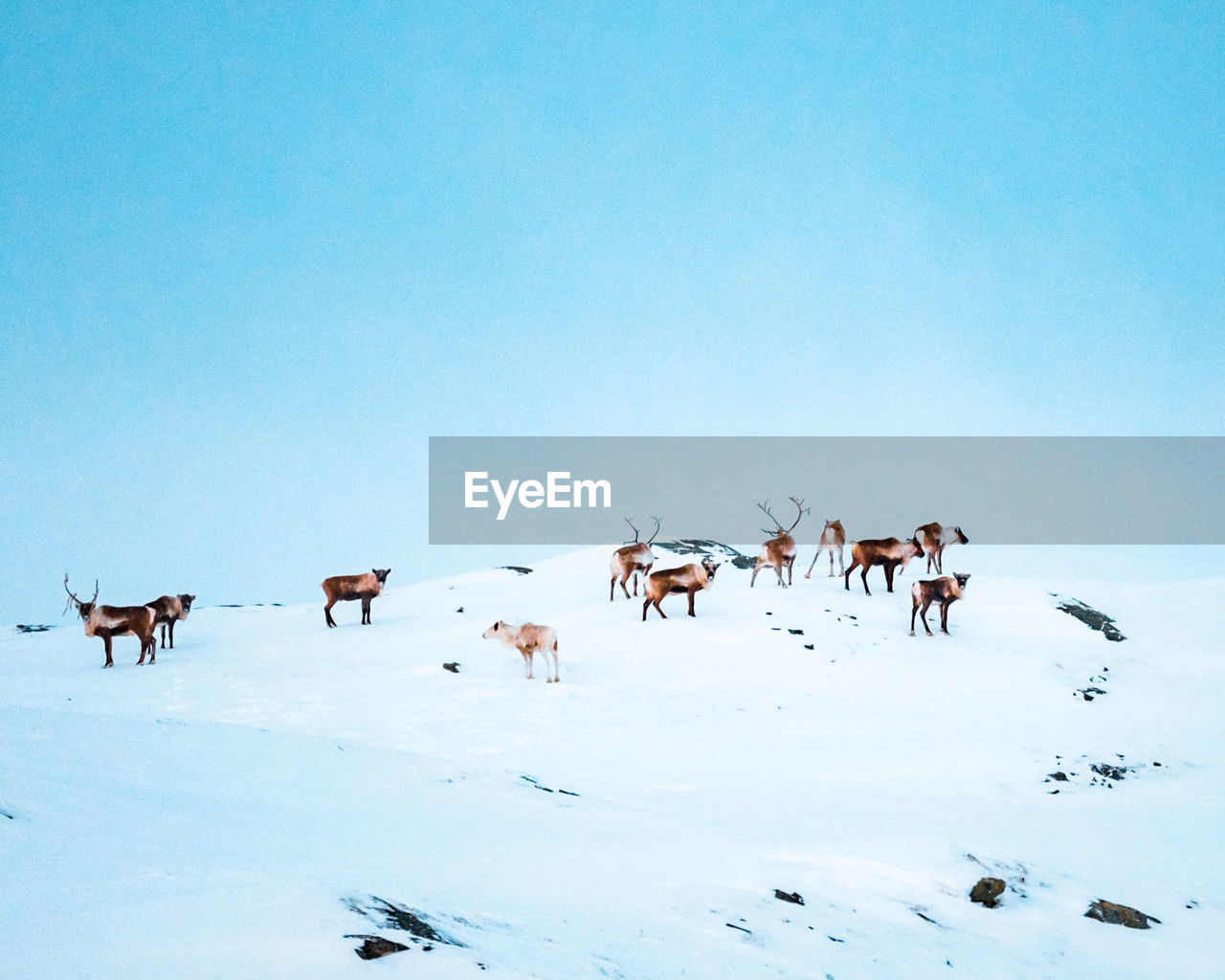 group of animals, animal themes, snow, animal, sky, large group of animals, clear sky, winter, vertebrate, no people, cold temperature, nature, mammal, domestic animals, beauty in nature, day, land, domestic, animal wildlife, herd, herbivorous