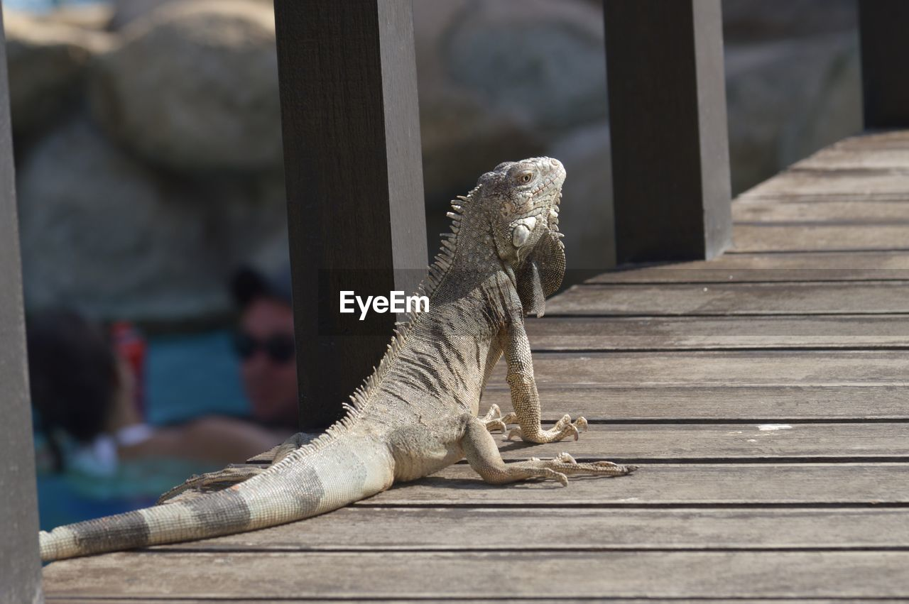 wood - material, animal, one animal, focus on foreground, animal themes, no people, lizard, reptile, day, animal wildlife, animals in the wild, close-up, outdoors, vertebrate, sunlight, wood, nature, relaxation, bearded dragon, pier, iguana