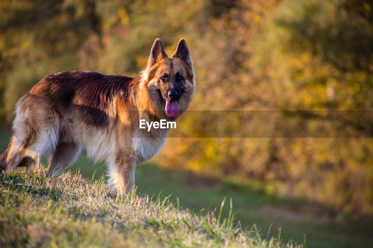 one animal, animal themes, animal, mammal, canine, dog, domestic, pets, domestic animals, german shepherd, nature, land, vertebrate, plant, day, grass, field, no people, selective focus, standing, outdoors, panting, mouth open