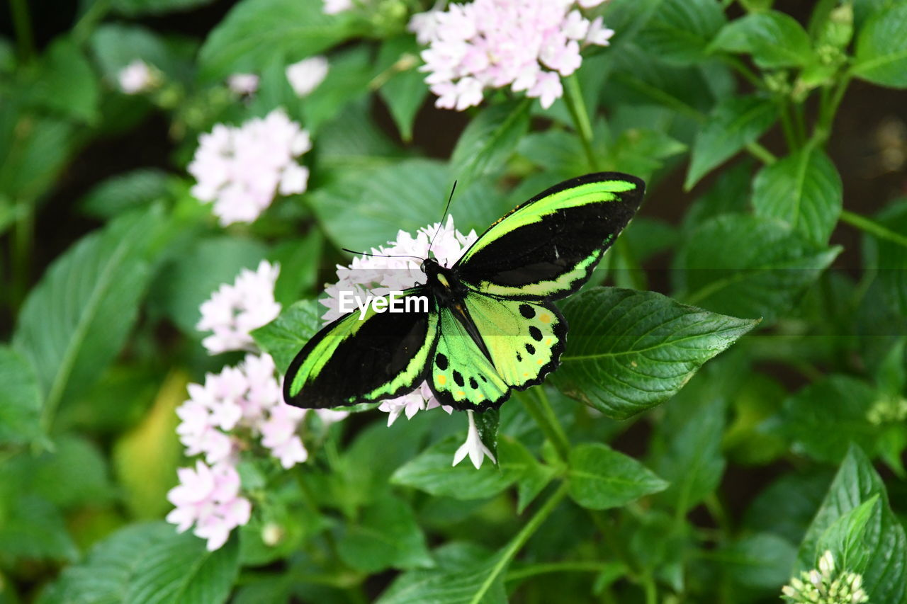 flower, beauty in nature, flowering plant, plant, animal themes, one animal, animal, invertebrate, animal wildlife, animal wing, insect, animals in the wild, growth, leaf, plant part, freshness, vulnerability, fragility, green color, butterfly - insect, flower head, no people, outdoors, pollination, butterfly