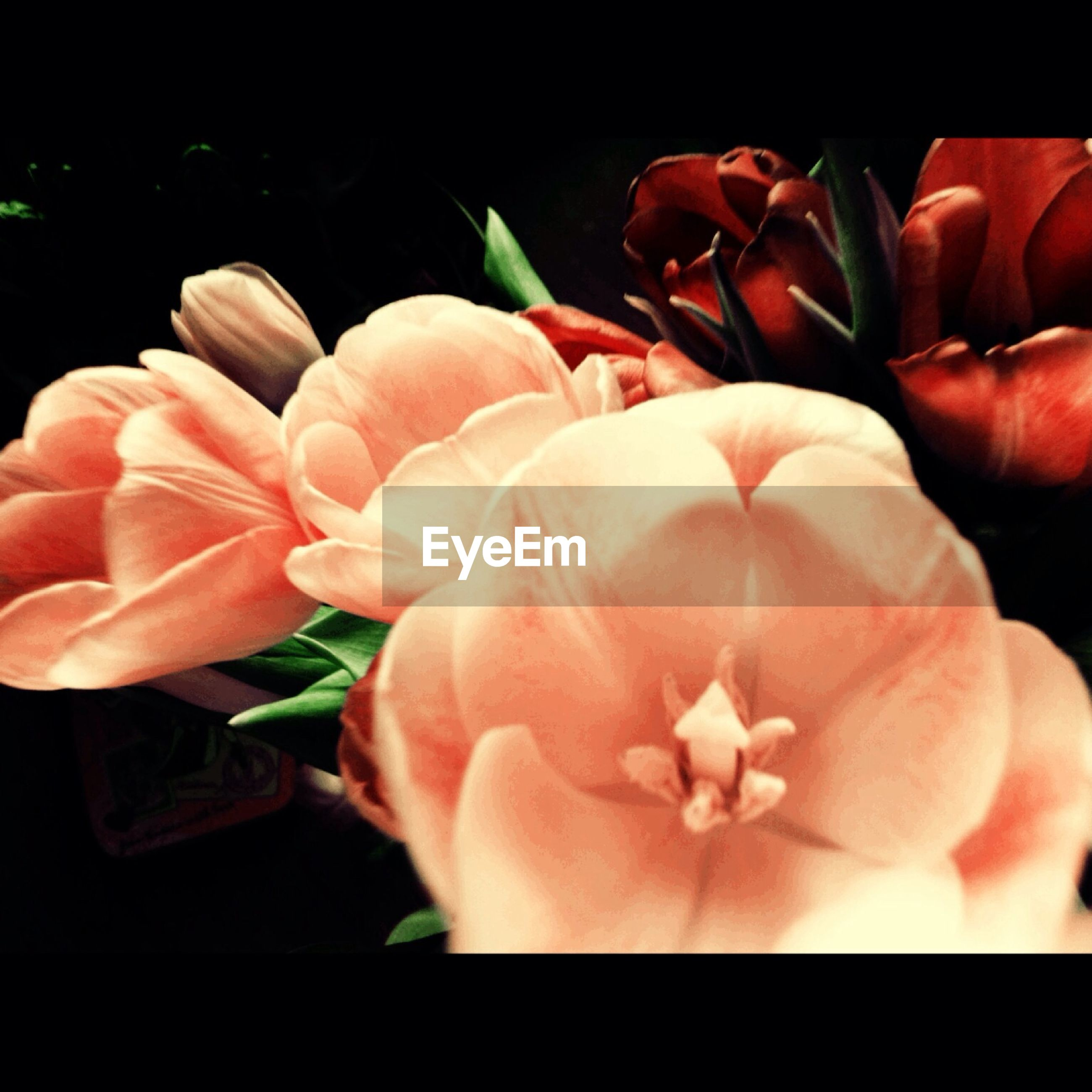 flower, petal, freshness, flower head, fragility, beauty in nature, growth, close-up, nature, indoors, blooming, plant, pink color, blossom, in bloom, red, focus on foreground, no people, rose - flower, botany