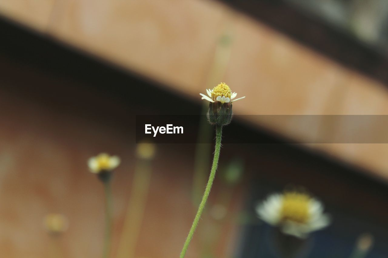 flower, flowering plant, plant, fragility, vulnerability, growth, freshness, close-up, beauty in nature, nature, no people, day, petal, selective focus, focus on foreground, flower head, inflorescence, botany, beginnings, outdoors, pollen, small, softness, dandelion seed