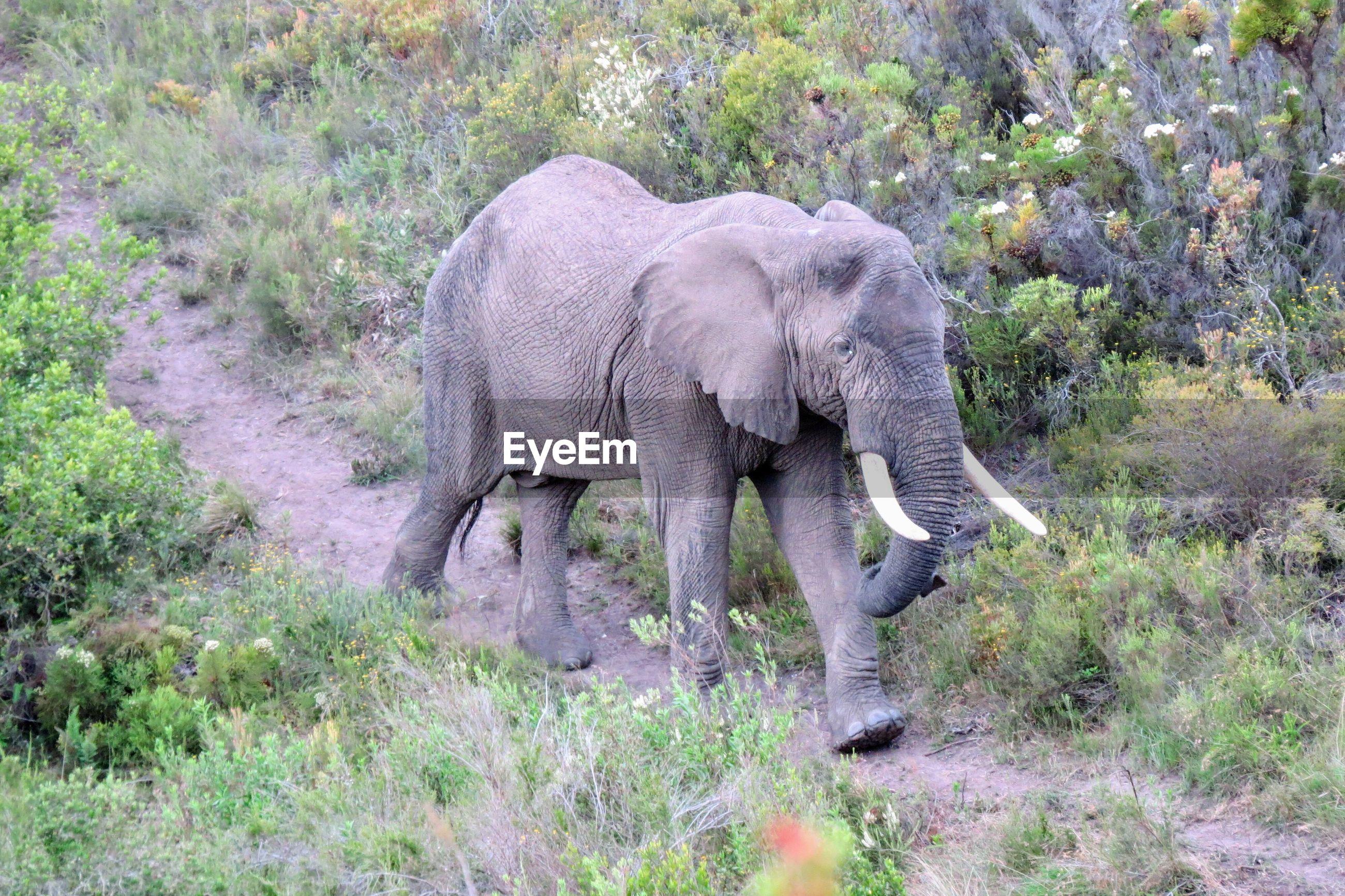 Elephant walking by plants in forest