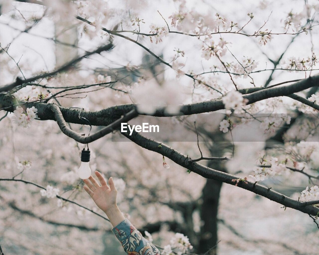 Cropped Image Of Woman Touching Light Bulb Hanging From Flowering Tree