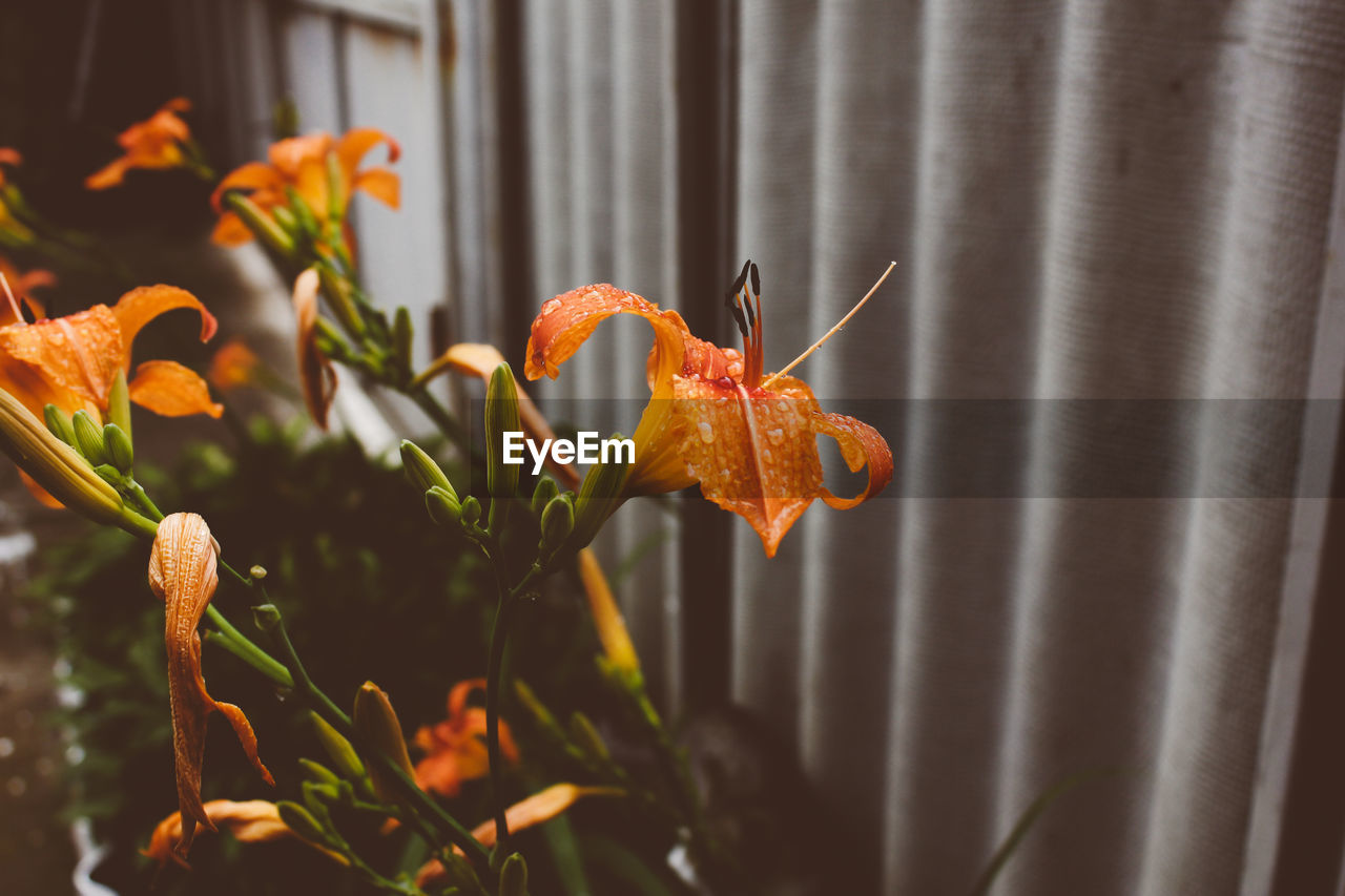 orange color, flower, petal, nature, plant, beauty in nature, growth, no people, flower head, fragility, close-up, lily, freshness, day, day lily, outdoors, blooming, animal themes