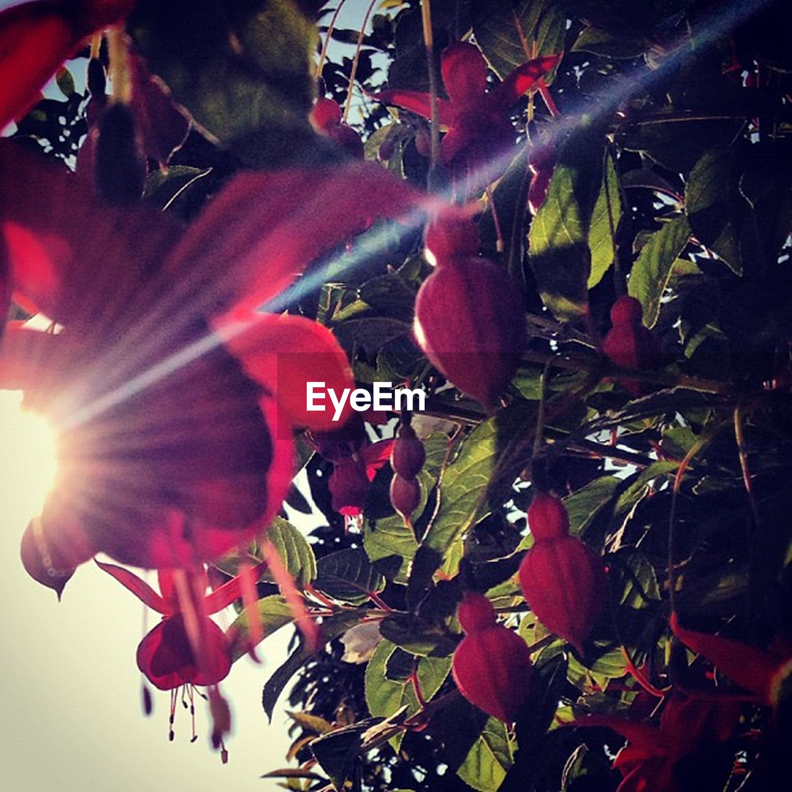 growth, freshness, flower, red, beauty in nature, nature, close-up, fragility, petal, leaf, low angle view, plant, branch, outdoors, full frame, day, backgrounds, sunlight, no people, pink color