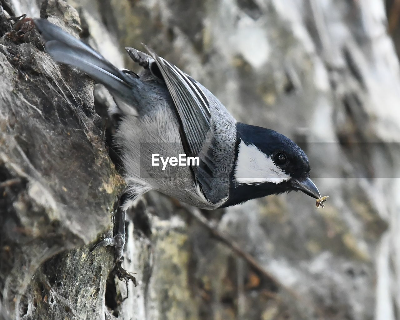 animal, animal themes, bird, animals in the wild, animal wildlife, one animal, vertebrate, focus on foreground, close-up, day, no people, rock, rock - object, solid, nature, side view, beak, penguin, outdoors, tree