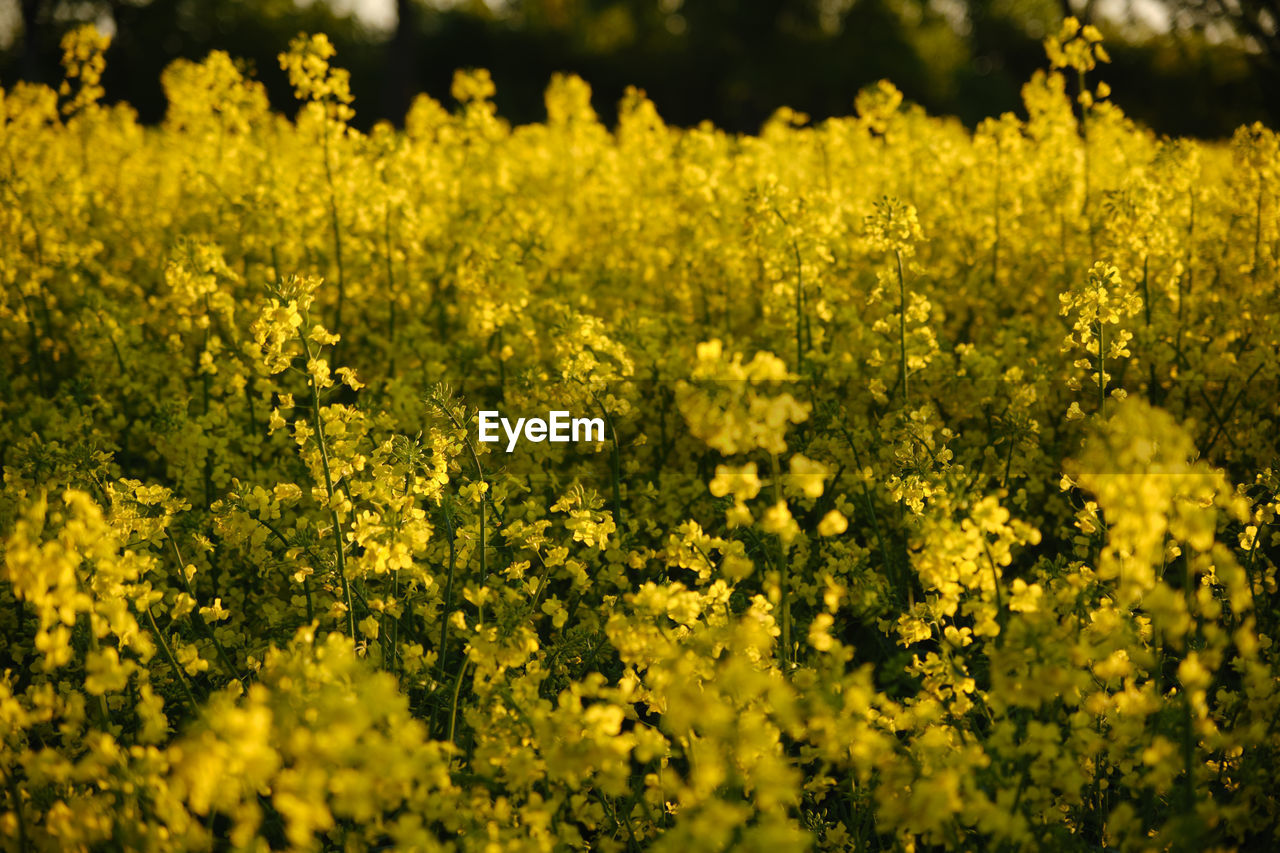 VIEW OF YELLOW FLOWERING PLANTS