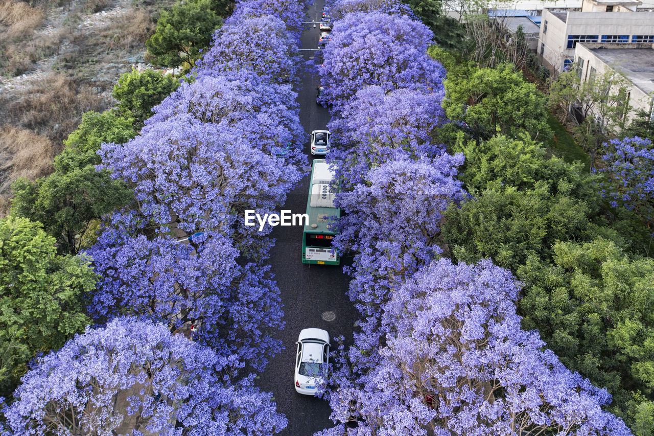 HIGH ANGLE VIEW OF PURPLE FLOWERING PLANTS AT PARK