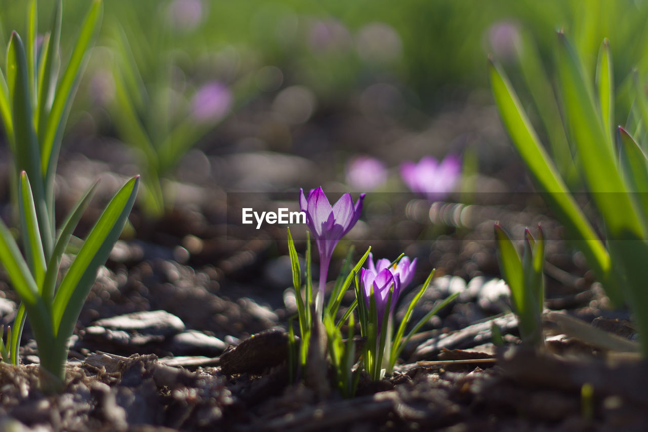 flowering plant, flower, plant, freshness, beauty in nature, growth, close-up, vulnerability, fragility, selective focus, nature, no people, day, petal, purple, land, pink color, flower head, field, crocus, iris