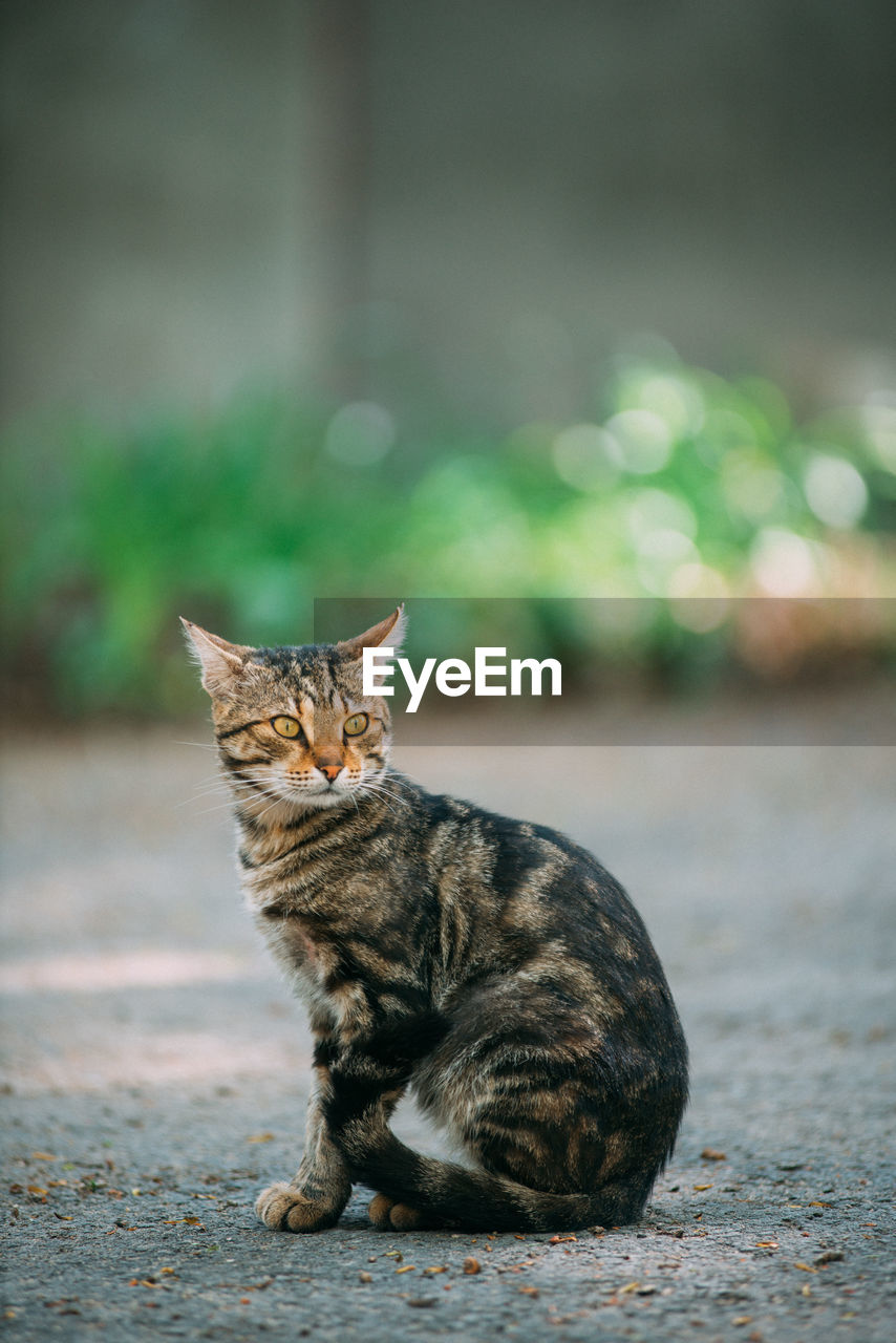 feline, cat, domestic cat, one animal, pets, domestic, mammal, domestic animals, vertebrate, no people, sitting, looking at camera, focus on foreground, whisker, day, portrait, city, tabby