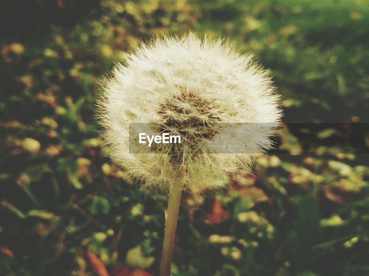 flower, dandelion, nature, fragility, growth, plant, close-up, beauty in nature, focus on foreground, flower head, seed, outdoors, uncultivated, day, freshness, no people