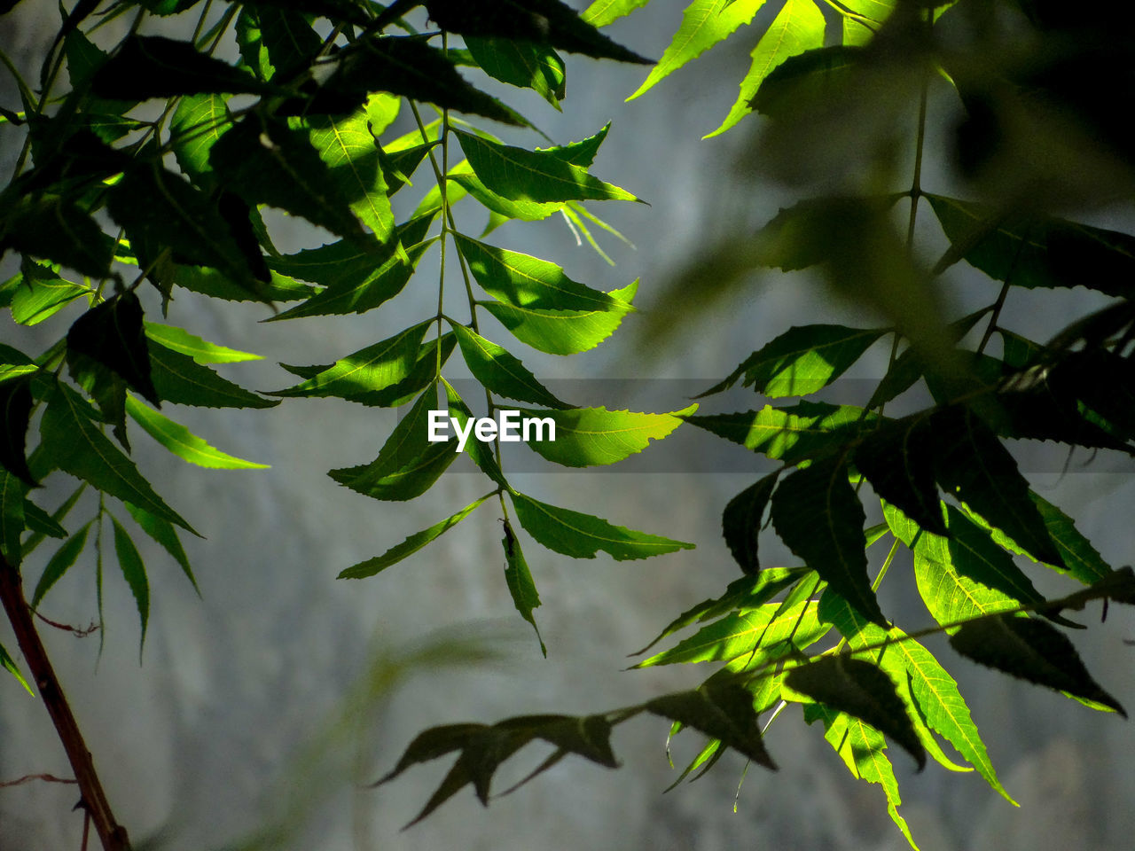 Close-up of  neem leaves against blurred background