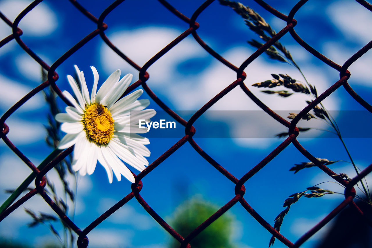 Close-up of a white flower against fence
