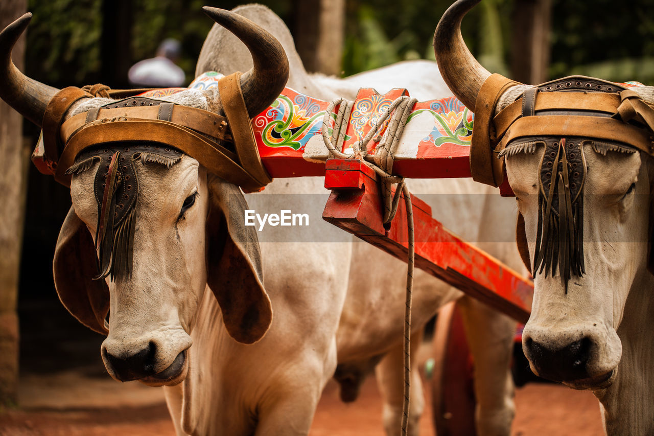 domestic animals, domestic, livestock, mammal, animal, pets, focus on foreground, animal themes, vertebrate, animal wildlife, horse, working animal, day, close-up, group of animals, no people, two animals, animal body part, herbivorous, cattle, animal head