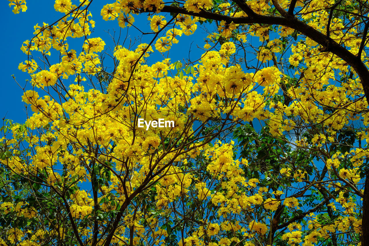 CLOSE-UP OF YELLOW FLOWERING TREE