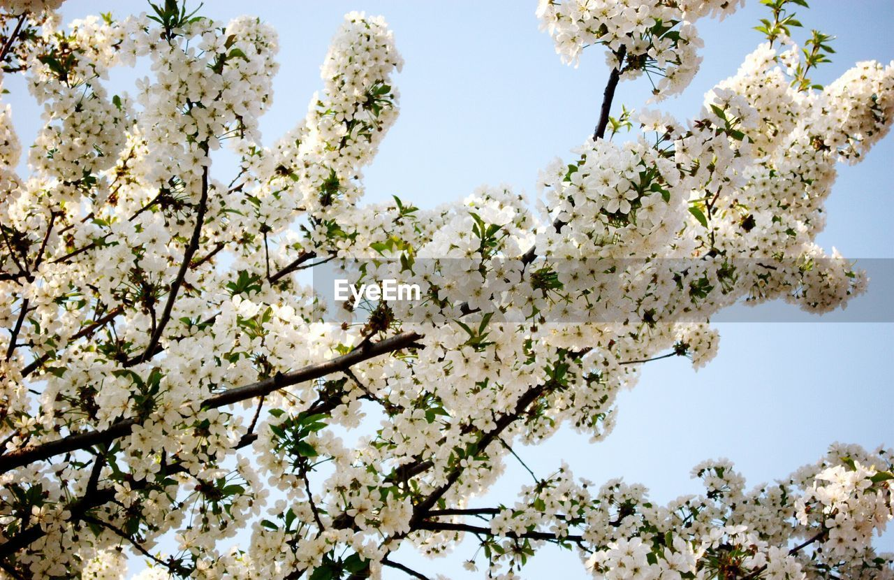 plant, flower, flowering plant, tree, blossom, growth, low angle view, beauty in nature, fragility, branch, vulnerability, nature, springtime, sky, day, freshness, clear sky, no people, white color, cherry blossom, cherry tree, outdoors, spring, flower head, bright, bunch of flowers