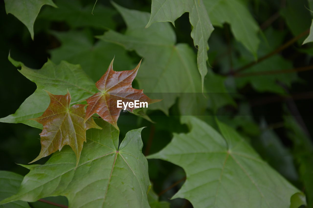 plant part, leaf, green color, nature, close-up, growth, autumn, plant, beauty in nature, leaf vein, no people, day, outdoors, maple leaf, change, leaves, vulnerability, fragility, focus on foreground, selective focus