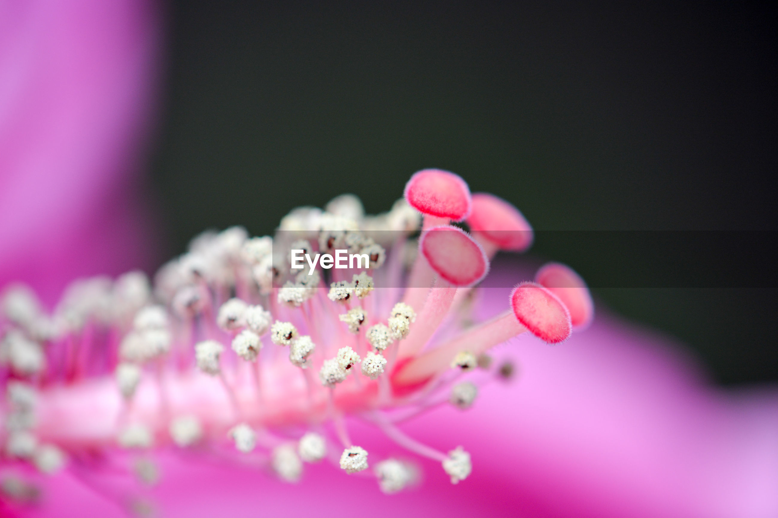 CLOSE-UP OF FRESH PINK FLOWERS BLOOMING IN NATURE