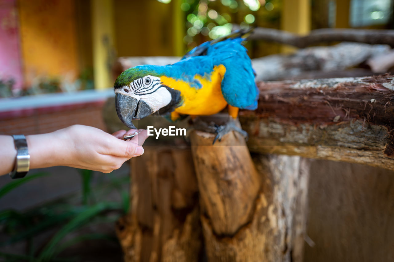 human hand, hand, vertebrate, parrot, real people, human body part, one person, bird, animals in the wild, holding, focus on foreground, animal wildlife, one animal, lifestyles, feeding, unrecognizable person, day, finger, outdoors