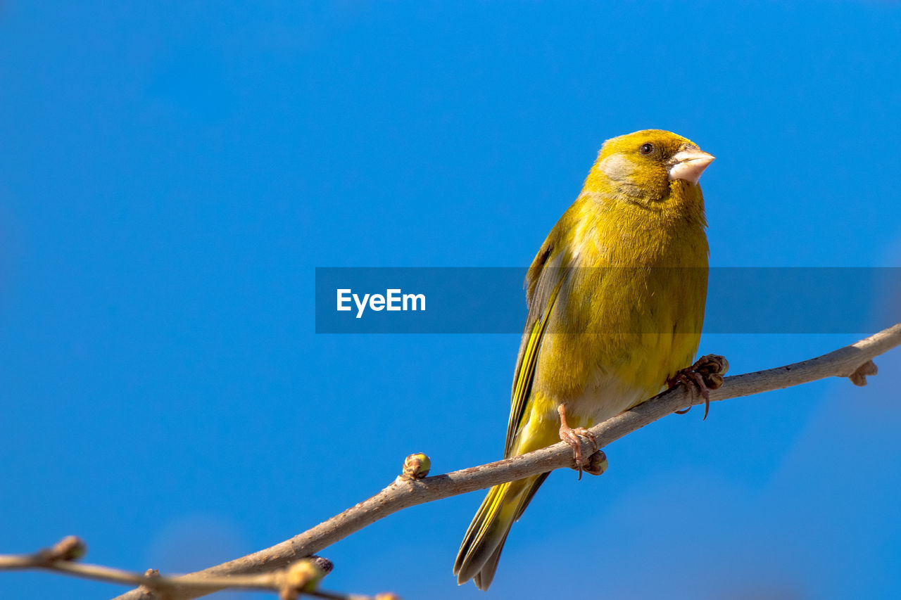 bird, vertebrate, animal themes, perching, animal, one animal, animal wildlife, animals in the wild, copy space, blue, clear sky, sky, branch, low angle view, no people, nature, day, yellow, tree, plant, outdoors