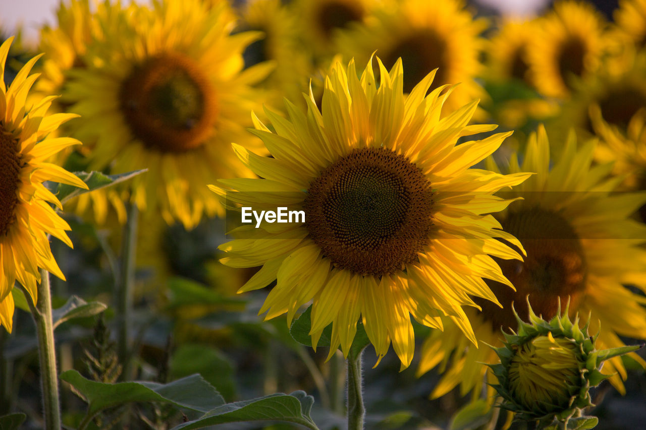 flower, flowering plant, yellow, fragility, flower head, plant, growth, vulnerability, petal, freshness, beauty in nature, inflorescence, sunflower, close-up, nature, pollen, field, day, focus on foreground, no people