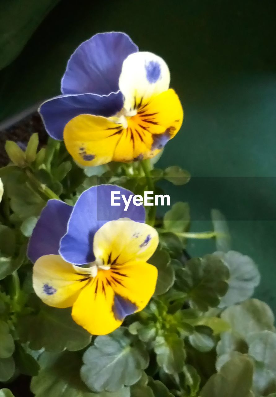 flower, flowering plant, fragility, vulnerability, petal, plant, beauty in nature, yellow, freshness, flower head, inflorescence, growth, close-up, pansy, nature, no people, day, focus on foreground, outdoors, purple
