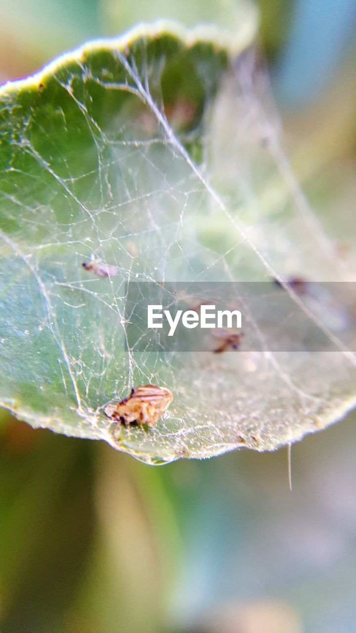 one animal, animal themes, animals in the wild, insect, focus on foreground, spider web, close-up, day, spider, outdoors, nature, animal wildlife, no people, web, fragility, beauty in nature, leaf