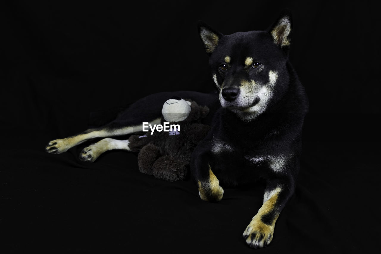 Portrait of dog with teddy bear against black background