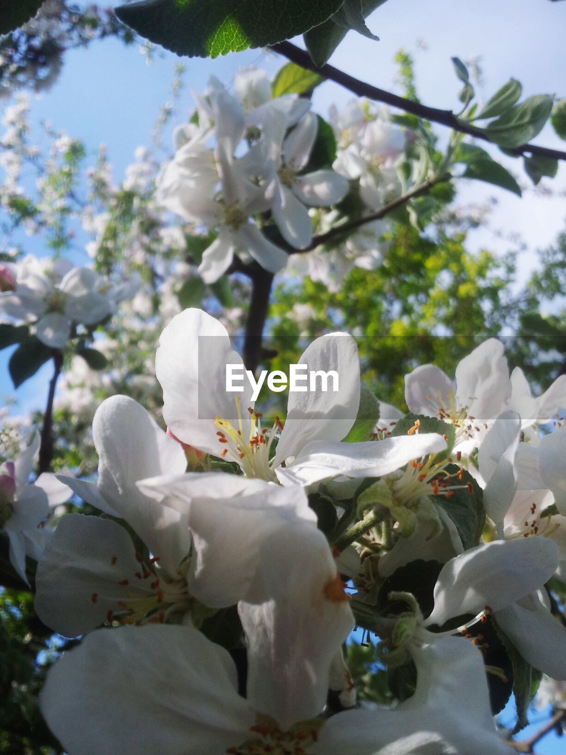 flower, white color, growth, freshness, fragility, tree, branch, petal, nature, cherry blossom, beauty in nature, focus on foreground, close-up, blooming, blossom, leaf, flower head, park - man made space, cherry tree, in bloom