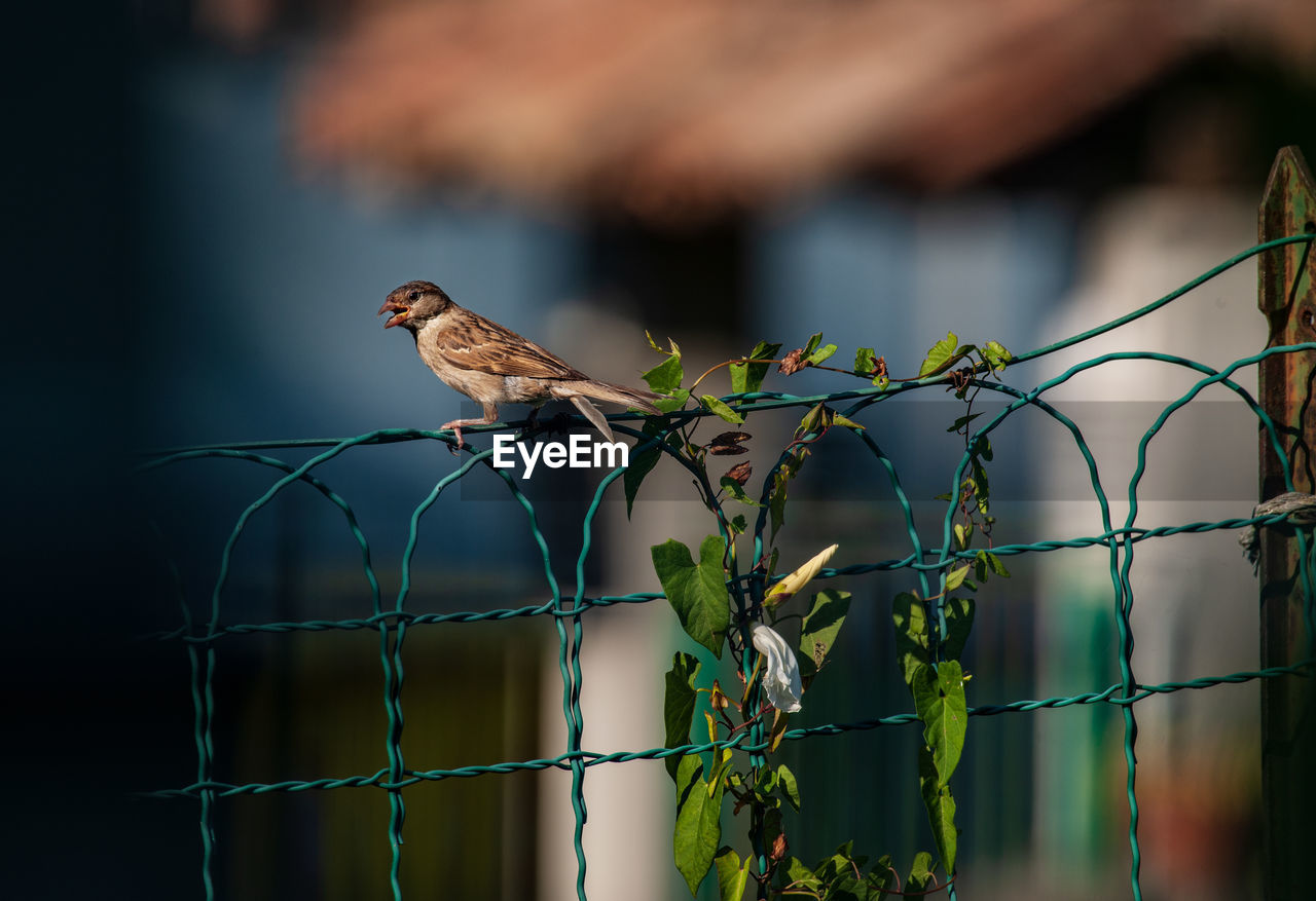 animal, bird, animal themes, vertebrate, animal wildlife, perching, one animal, animals in the wild, fence, boundary, barrier, safety, focus on foreground, security, metal, no people, selective focus, protection, sparrow, day, outdoors