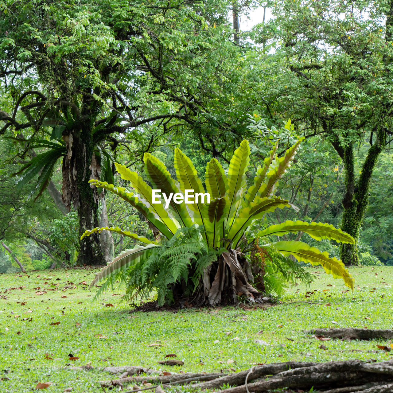 plant, tree, no people, nature, land, food and drink, day, food, growth, fruit, banana, foliage, lush foliage, forest, leaf, green color, field, tropical climate, plant part, beauty in nature, outdoors, ornamental garden