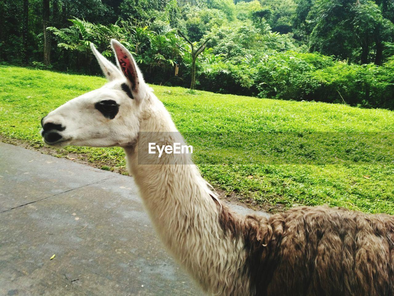 animal themes, one animal, domestic animals, mammal, field, llama, livestock, day, grass, no people, outdoors, green color, alpaca, nature, tree, close-up