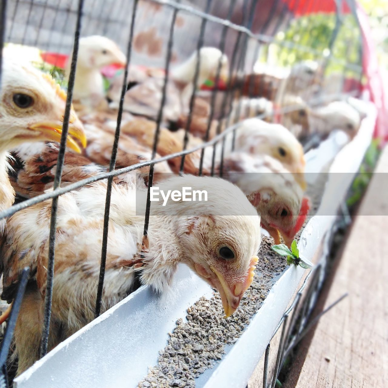 Chickens In Cage At Farm