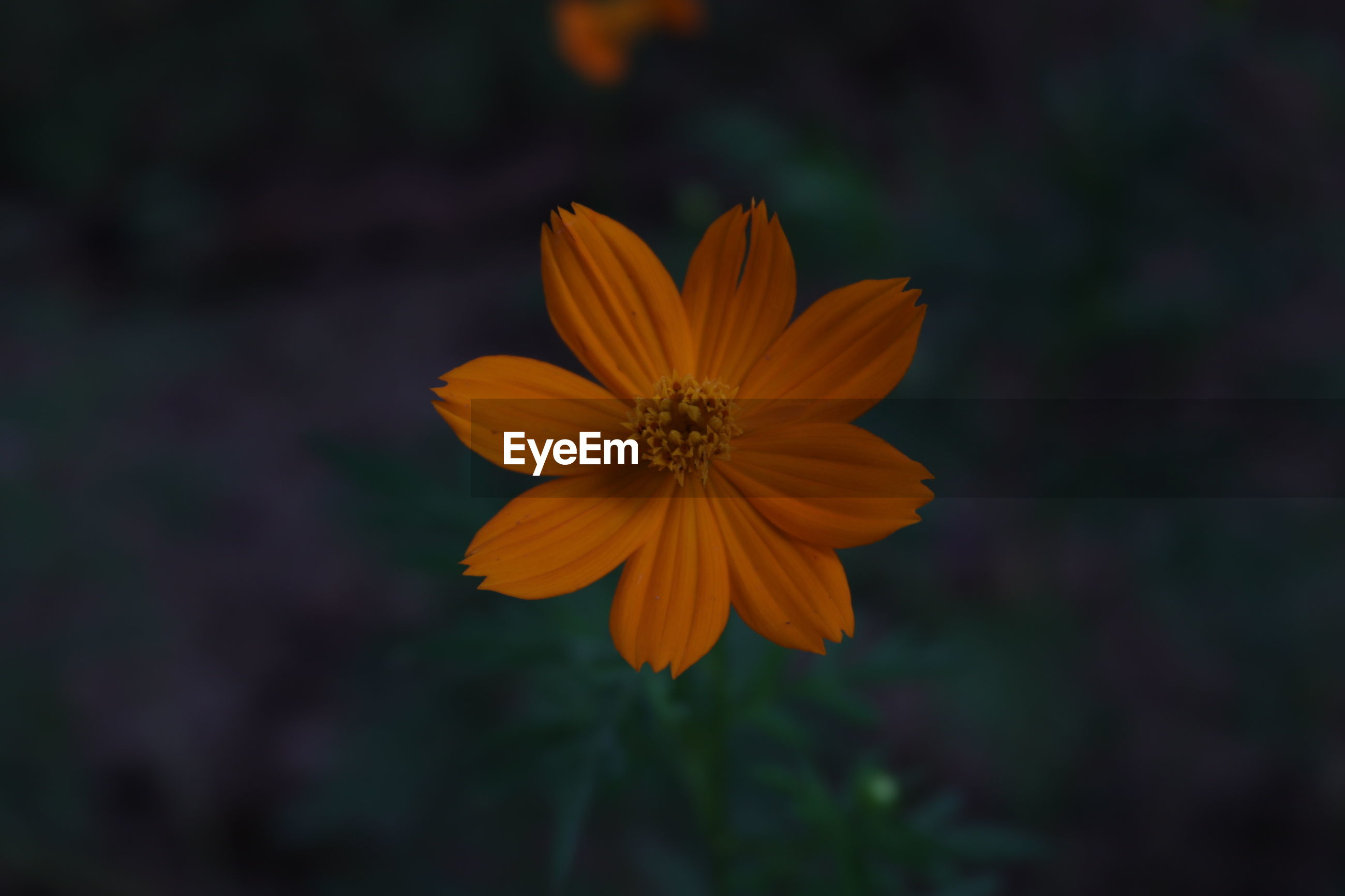 CLOSE-UP OF ORANGE COSMOS FLOWER AGAINST BLURRED BACKGROUND
