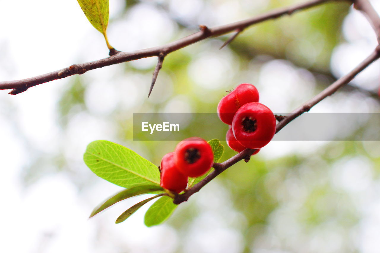 red, fruit, leaf, plant part, plant, healthy eating, food, food and drink, focus on foreground, growth, close-up, tree, freshness, branch, nature, no people, day, beauty in nature, rose hip, berry fruit, outdoors, ripe, red currant, rowanberry