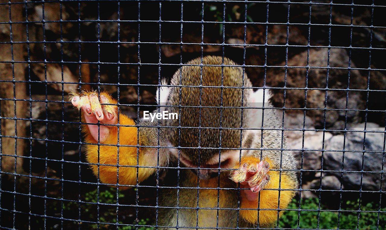 Squirrel Monkey Behind Fence