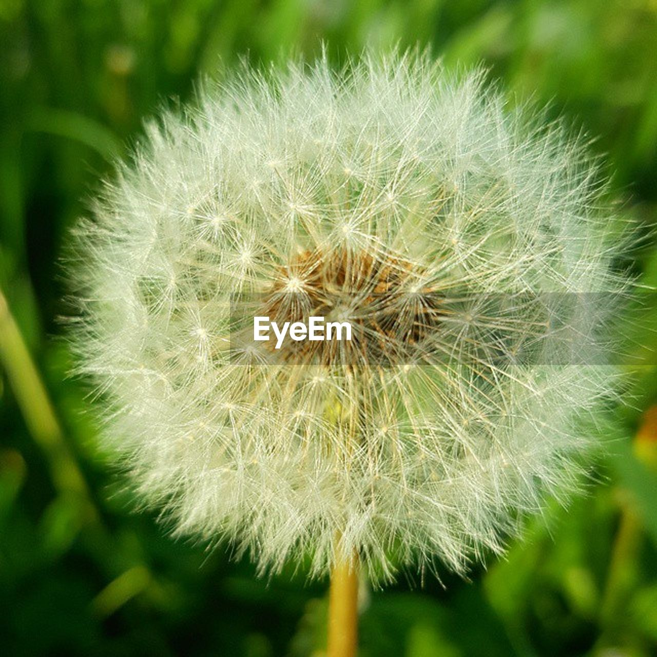 nature, dandelion, flower, growth, fragility, close-up, beauty in nature, plant, focus on foreground, freshness, flower head, day, no people, outdoors