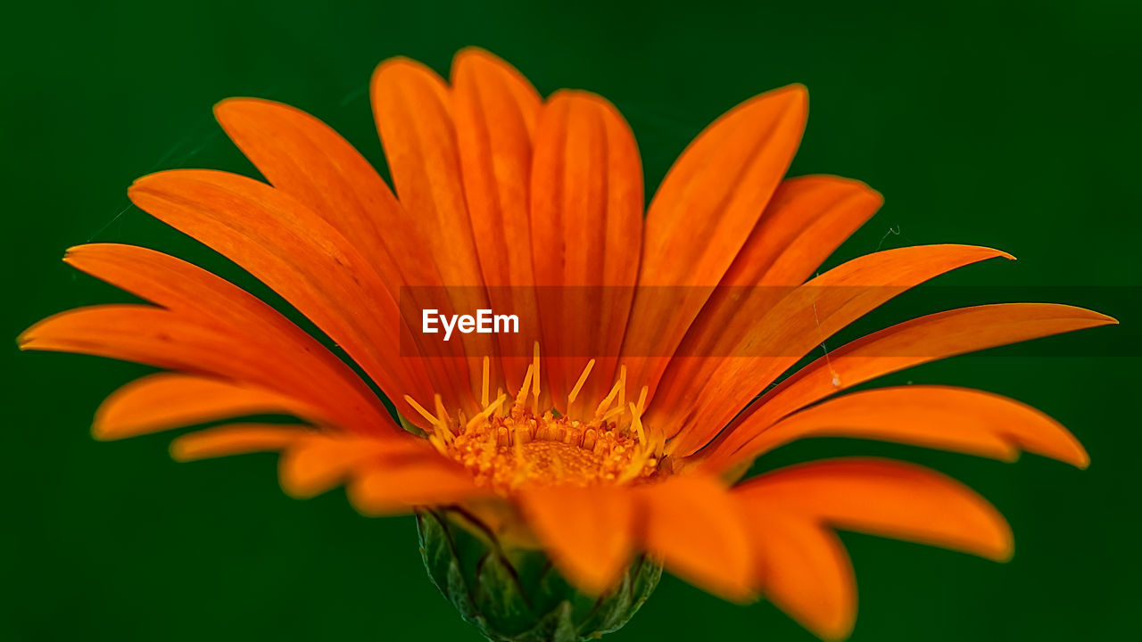 flower, petal, flower head, beauty in nature, fragility, freshness, orange color, growth, nature, blooming, pollen, close-up, plant, no people, day, outdoors