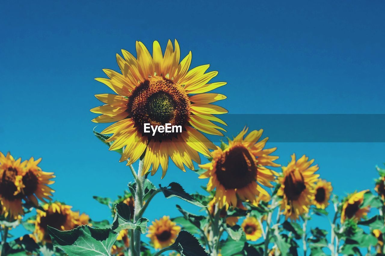 flower, flowering plant, fragility, plant, yellow, vulnerability, flower head, freshness, growth, petal, sky, beauty in nature, sunflower, nature, inflorescence, close-up, pollen, no people, day, clear sky, outdoors, pollination
